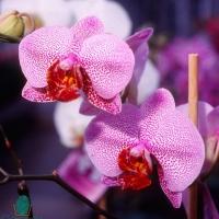 Phalaenopsis 4_(2)