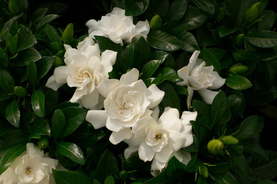 gardenia pianta2